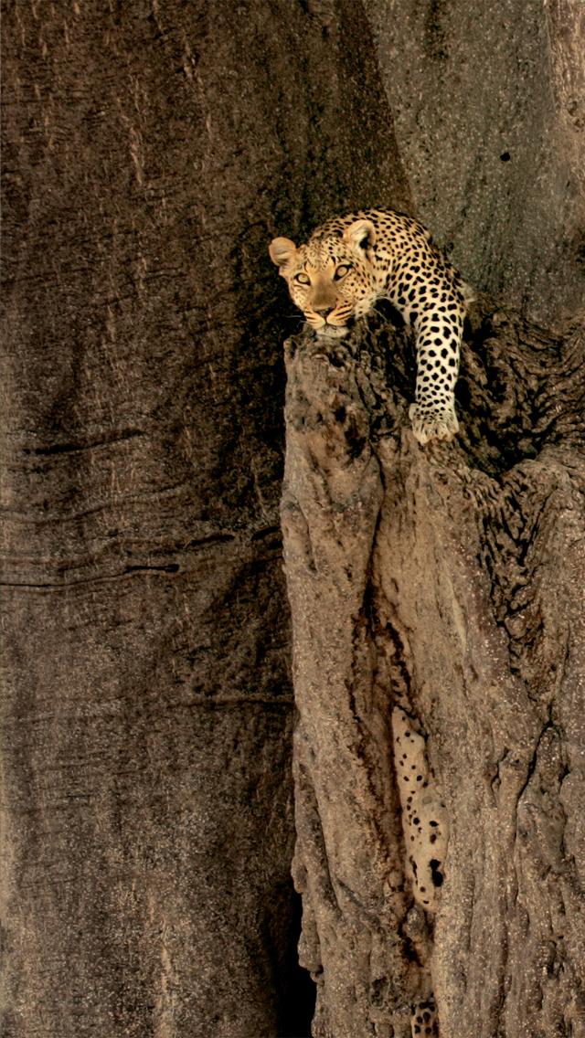 Amazing Leopard iPhone 5 Wallpaper