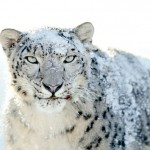 Mountain Lion Claws Its Way To The Top Spot Of OS X Editions, Snow Leopard Still Refuses To Die